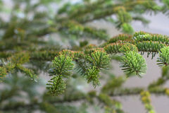 Pine branch macro christmas season Royalty Free Stock Images
