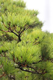 PIne Branch with many sharp green pine leaves Stock Photo