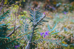 pine branch in the morning dew Royalty Free Stock Photos