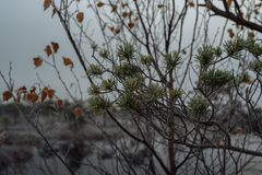 Pine branch and needles and birch leaves covered. In morning frost, close-up, winter morning Stock Photography