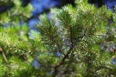 Pine branch with needles Royalty Free Stock Photos