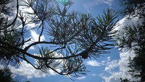 Pine branch with needles and cones against the background of the sky in sunny day.  stock video