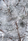 Pine branch and needles in snow. Closeup HDR image Royalty Free Stock Photo