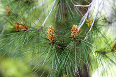 Pine branch with needles Stock Photos