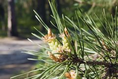 Pine branch with young cones. Pine branch with needles and young cones, the background of the forest is blurred Royalty Free Stock Image