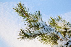 Pine branch. Photographed closeup on white snow Royalty Free Stock Photography
