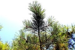 Pine branch. With prickly green needles royalty free stock image