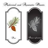 Pine branch with pine cone. Hand drawn botanical  illustration Stock Image