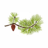 Pine branch with pine cone vector Royalty Free Stock Image
