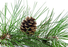 Pine branch and pine cone Royalty Free Stock Images