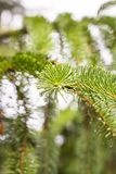 Pine branch on pine tree. Pine tree in pine forest. Wild nature. Greenery. Park. Outdoor photo. Pine branch on pine tree. Pine tree in pine forest. Wild nature royalty free stock photography