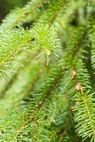 Pine branch on pine tree. Pine tree in pine forest. Wild nature. Greenery. Park. Outdoor photo. Pine branch on pine tree. Pine tree in pine forest. Wild nature royalty free stock image