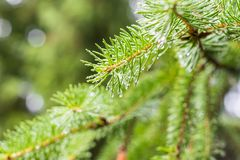 Pine branch on pine tree. Pine tree in pine forest. Wild nature. Greenery. Park. Outdoor photo. Pine branch on pine tree. Pine tree in pine forest. Wild nature royalty free stock photo