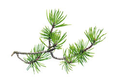 Pine branch (Pinus contorta) isolated on white Stock Image