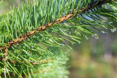 Pine branch after the rain Royalty Free Stock Image
