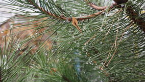 Pine branch. After the rain in the autumn park Stock Images