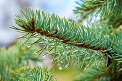 Pine branch with rain drops close up Stock Image