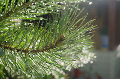 Pine branch after the rain-drops glisten. In the sun Stock Photography