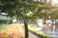 Pine branch with rain drops. after the rain in the coniferous fo Royalty Free Stock Photography