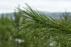 Pine branch after a rain Stock Images