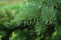 Pine branch with raindrops. Closeup of pine branch with raindrops Stock Photo
