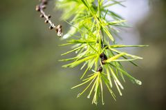 Pine branch with raindrops. Close up view of the branch of coniferous tree with raindrops Stock Images
