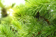 Pine branch with raindrops and sun Royalty Free Stock Photos