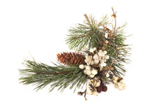 Pine branch, red and white berries Stock Images