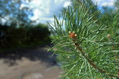 Pine branch. Royalty Free Stock Photo