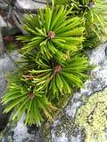 Pine branch  in the rocks Stock Image