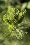 Pine branch with small cones, green background royalty free stock photo