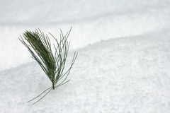 Pine branch in the snow Stock Images