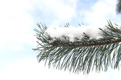 Pine branch on snow background, pine branch wrapped in snow on a background of sky frost, winter landscape, winter came to the for Royalty Free Stock Photo
