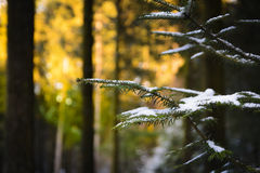 Pine branch with snow. With dawn lights Stock Photography
