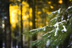 Pine branch with snow. With dawn lights Stock Image