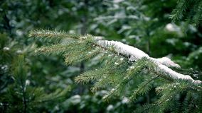 Pine Branch With Snow In Gentle Breeze. Closeup of tree branch in the forest covered in snow stock footage