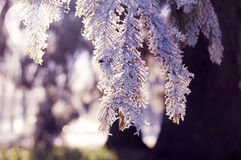 Pine branch with snow Stock Images