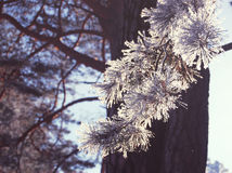 Pine branch with snow Stock Photos
