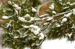 Pine branch and snow Royalty Free Stock Image