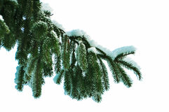 Pine branch with snow isolation on white Royalty Free Stock Images