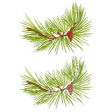 Pine branch with snow and pine cone vector Royalty Free Stock Image