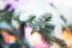 Pine branch in snow. Small depth of sharpness Stock Photos