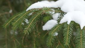 A branch of pine under the snow. Pine branch with snow swinging from the winter wind stock video