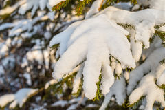 Pine branch snow Stock Images