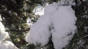 Pine branch in snow. Winter sunset in the forest. stock video