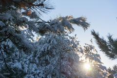 Pine branch in snow. Winter sunset in forest. Stock Photos
