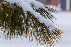 Pine branch in snow. Winter sunset in the forest. Royalty Free Stock Images