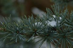A pine branch with some snow. On it Royalty Free Stock Image