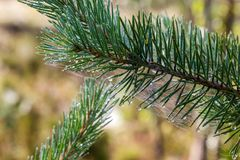 Pine branch with spider web Royalty Free Stock Photography