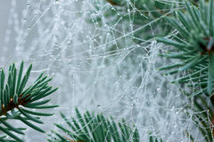 Pine branch with spider web or cobweb with water drops Royalty Free Stock Photos